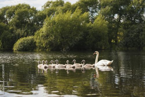 Fotobehang Zwaan White Swan with Chicks