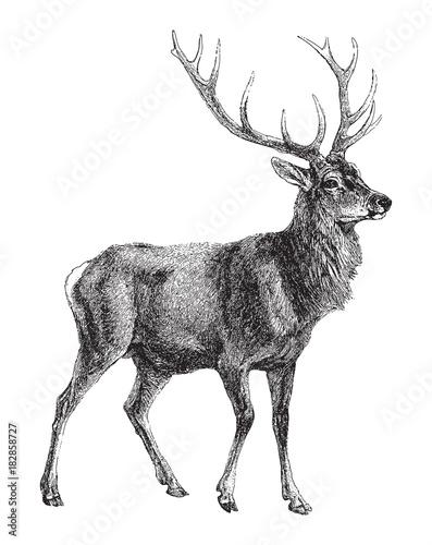 Fototapeta Red deer (Cervus Elaphus) / vintage illustration
