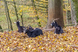goats in autumn ambiance - 182867545