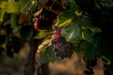 Ripe bunches of grapes. Grape plantation. Israel. - 182874950