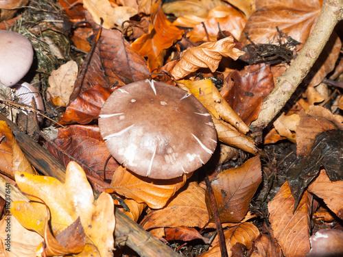 mushroom brown forest floor cap fungi autumn dead leaves