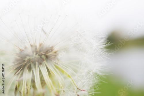 Dandelion on blur background © taknote