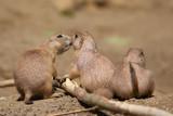Black tailed prairie dogs - 182891338