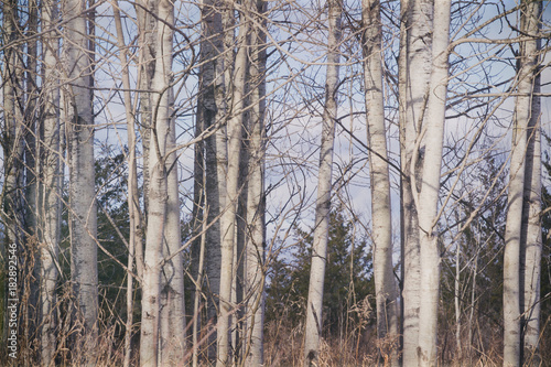 Plexiglas Berkenbos White and black tree trunks of birch trees in the late fall; Empty branches against a blue sky
