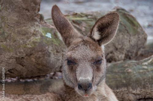 Fotobehang Kangoeroe Australian kangaroo animal close up portrait