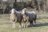sheep pasture field - 182901505