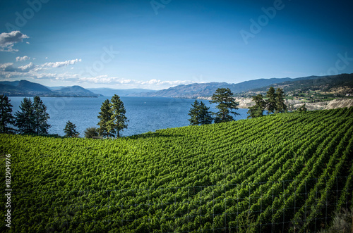 Foto op Canvas Blauwe jeans Summer in the vineyards Penticton British Columbia Canada
