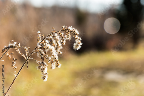 Cottonwood Plant - 182910164