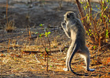 An Alert young baboon standing in the African Bush on it's  hind legs while feeding.  South Luangwa National Park, Zambia - 182911184