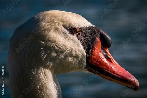 Aluminium Zwaan Mute Swan Portrait