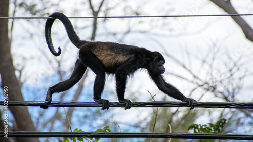 Fotobehang Aap Monkey on a telephone line