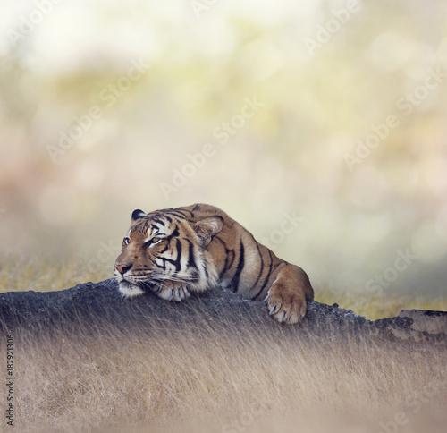 Fotobehang Tijger Bengal tiger resting