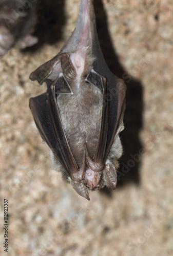 Hanging  Vampire Bat Poster