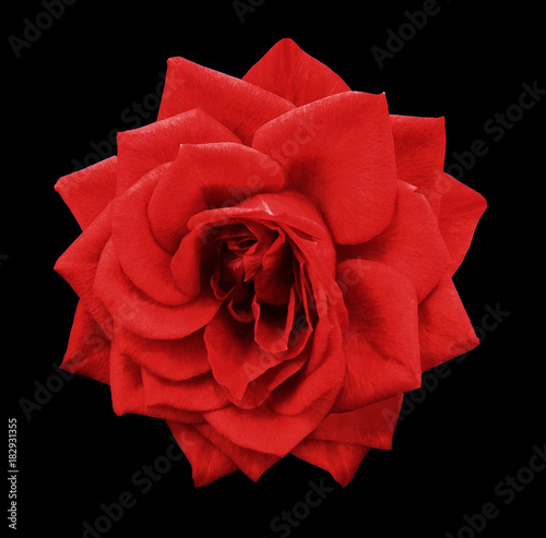 Foto op Plexiglas Rood traf. Rose red flower on black isolated background with clipping path. no shadows. Closeup. For design. Nature.