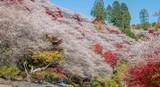 Shikizakura blossoms mixed with the beautiful autumn colour leave at Obara village.