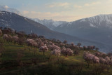 Blooming apricot orchard in the background of snowy mountains.Uzbekistan.