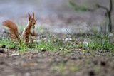 Red squirrel in the forest in the wild - 182935586