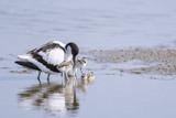 Avocette élégante - Recurvirostra avosetta - Pied Avocet - 182936747