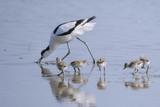 Avocette élégante - Recurvirostra avosetta - Pied Avocet - 182936783