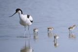 Avocette élégante - Recurvirostra avosetta - Pied Avocet - 182936785