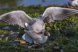 Accouplement - Mouette rieuse - Chroicocephalus ridibundus - Black-headed Gull - 182938756