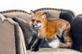 red fox indoor - 182942357
