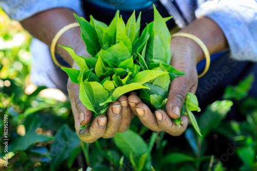 Cueuille de thé dans les plantations du sri lanka