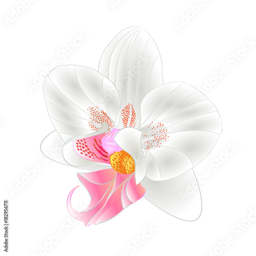 Orchid Phalaenopsis closeup white  beautiful flower  isolated vintage  vector illustration editable  hand draw