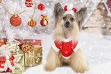 Chinese Crested dogs in a Christmas costume