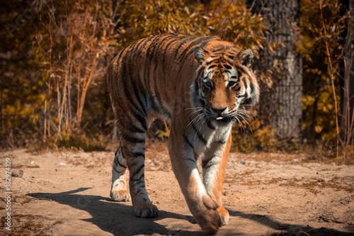 Fotobehang Tijger Animal