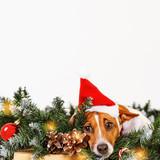 Cute dog with santa hat near Christmas tree branch.