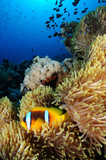 Amphiprion bicinctus (Twoband anemonefish) in Red Sea