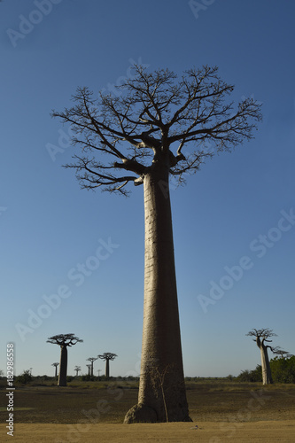Poster Baobab Baobab alley Morondava Madagasca