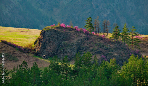 Staande foto Groen blauw Russia. The South Of Western Siberia, spring flowers of the Altai mountains. Rhododendron