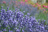Lavender blooming in the garden. - 182996726