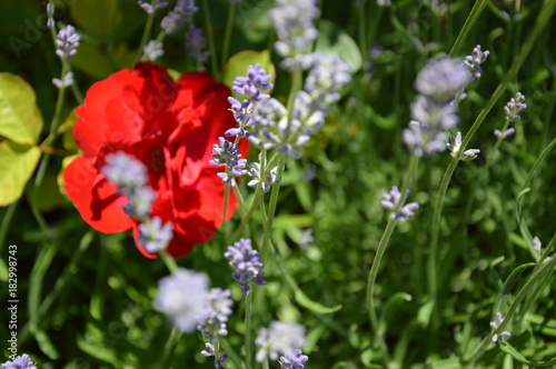 Aluminium Lavendel A close-up to lavender flover in the garden with red rose.