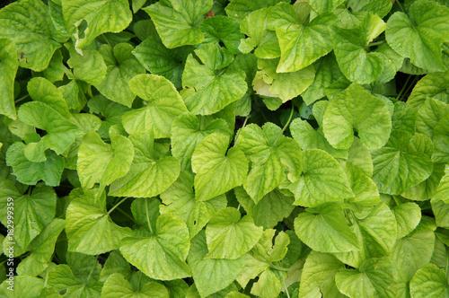 Fotobehang Planten Viola sororia albiflora many green leafs