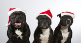 American staffordshire dogs isolated on white. Group of dogs wearing a Christmas hats. - 183005980
