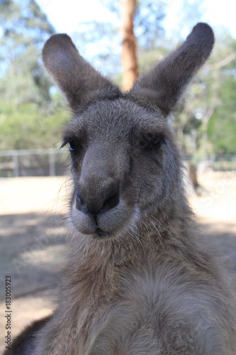 Fotobehang Kangoeroe closeup of kangaroo playing with photograph