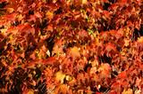 Parra virgen en otoño - 183006717