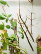Northern Walking Stick (Diapheromera femorata)