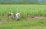 Kubanische Bauer und Erntehelfer auf dem Zuckerrohrfeld beim Ernten in Santa Clara - Serie Cuba Reportage - 183008555