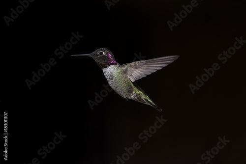 Hummingbird Anny na ciemnym tle