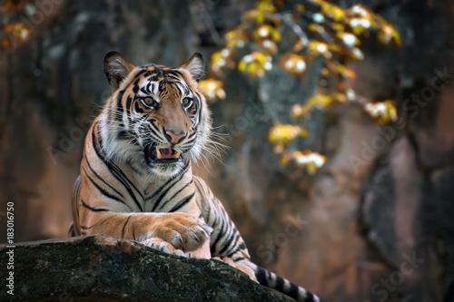 Fotobehang Tijger Sumatran tiger sitting on the rock