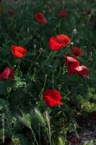 Deurstickers Klaprozen Poppies