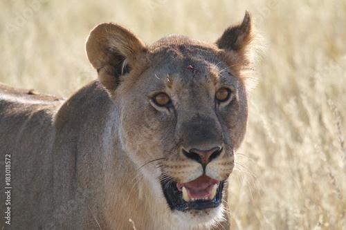 Fotobehang Lion Löwin Gesicht