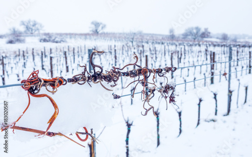 Plexiglas Wijngaard Weinberg im Winter mit Schnee auf den Feldern