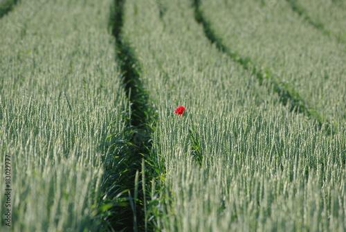 Plexiglas Klaprozen Feldweg, Getreide Feld, Mohn