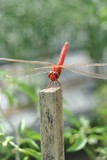 dragonfly waiting for food - 183028939
