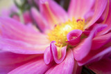 Close Up Petals Curved into Each Other on Bright Pink Flower - 183033562
